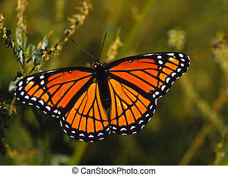 Monarch Butterfly - a colorful monarch butterfly