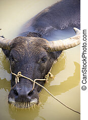 Water Buffalo - Image of a water buffalo at a farm located...