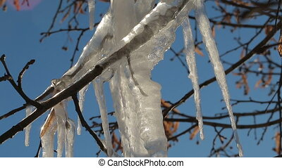Melting icicles on a frozen branch of a tree. Video full hd.