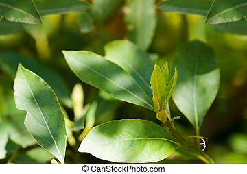 laurel tree green leaves closeup in summer sunny day