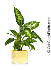 Houseplant in yellow glass pot isolated on white background
