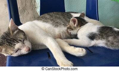 Cat Breastfeeding Single Kitten, stock video