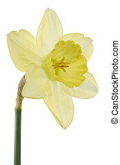 daffodil - Studio Shot of Yellow Colored Daffodil Isolated...