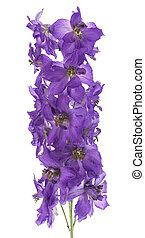 larkspur - Studio Shot of Violet and Indigo Colored Larkspur...