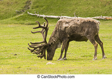 male caribou feeding - old male caribou in velvet, feeding...