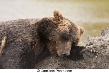 female Alaskan brown bear