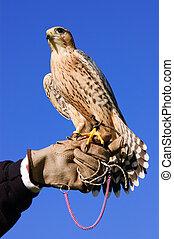 peregrine falcon on glove