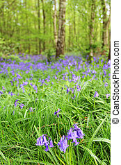 Bluebell flowers in spring forest - Beautiful landscape with...