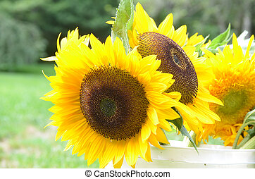 Yellow Flowering Sunflowers in a White Bucket