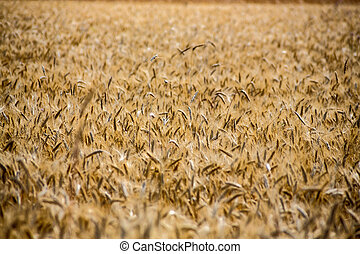 cornfield in summer - a field of grain in summer. harvest in...