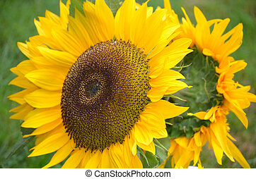 Gorgeous Flowering Sunflowers in a Bouquet