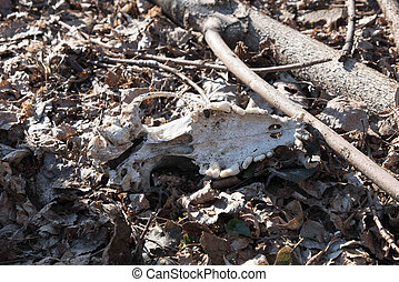a skull in the forest on the leafs. Fang. - a skull in the...
