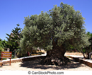 Oldest olive tree - The olive tree at Vouves, in the...
