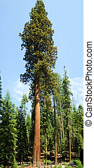 Sequoia Gigantica - very tall Sequoia Gigantica in Mariposa...