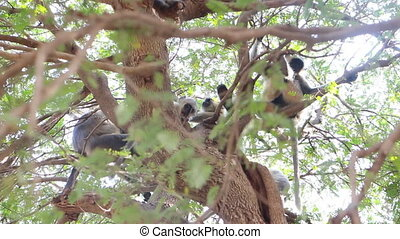 Bunch of monkeys (langur) got the branchy tree - Flying...