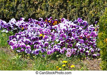 Viola flowers in springtime - Viola flowers in the spring...