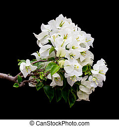 White blooming bougainvilleas on black background isolated