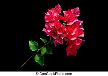 Pink blooming bougainvilleas on black background isolated