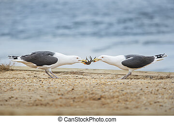 Crab Tug of War - A pair of Great Black-backed Gulls play...