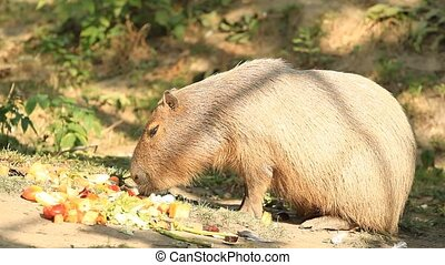Capibara in meadow eating in the fruit - Capibara...