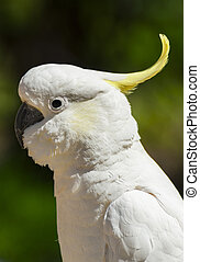 Cockatoo - Wild cockatoo on a green background. Seen in...