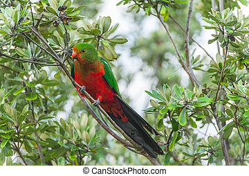 King-parrot - Curious Australian King-parrot (Alisterus...