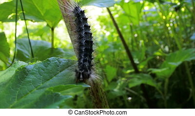 Lymantria dispar caterpillars move in forest. beautiful pest...
