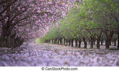 garden with blooming peach trees, spring day