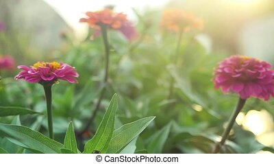 Beautiful colorful flowers in the summer garden in slowmotion with sunshine and lense flare effects. 1920x1080