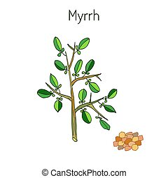 Myrrh aromatic plant - Myrrh, or African myrrh, or herabol...