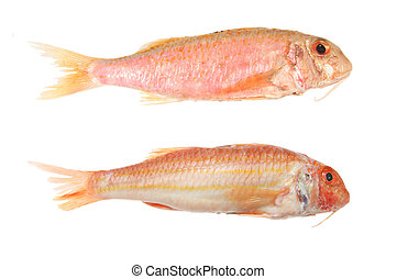 Two red mullet fish isolated on white