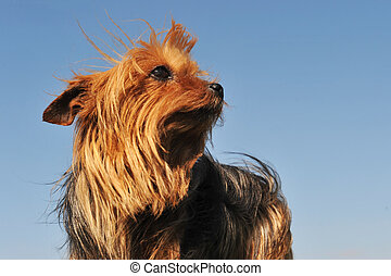 yorkshire terrier - portrait of a purebred yorkshire terrier...