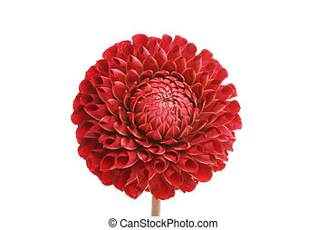 Pom pom dahlia flower - Red pom pom dahlia flower isolated...