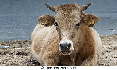 Dairy cow Bos taurus eating grass near lake - Nature -...