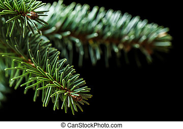 Sitka spruce branches on black - Closeup of conifer Sitka...