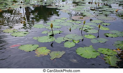 Lake with water Lily and red fishes