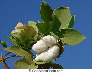 cotton boll - open cotton boll and closed one with leaves on...