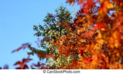Focus on mountain ash and rowan