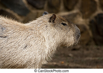 Capybara rodent - Close up view of a Capybara rodent animal