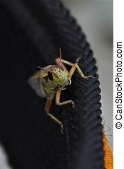 Hitching a Ride - This grasshopper hopped onto my hiking bag...