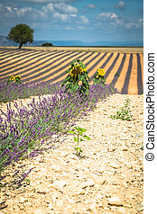 Beautiful landscape of blooming lavender field,lonely tree uphill on horizon. Provence, France, Europe.