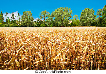 Wheat Field - Field of wheat waiting for harvest.