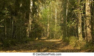 Walkway in the forest. Autumn daytime. Smooth wide dolly shot