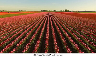 Pink Tulips Bend Towards Sunlight Floral Agriculture Flowers...