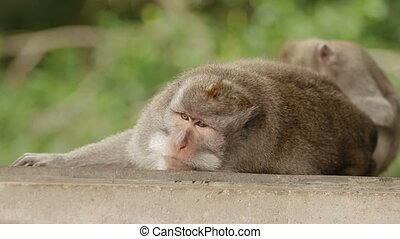 Monkey sleeps. Close up photo of monkey's face. Monkey...