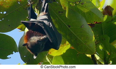 Flying fox hanging on a tree branch and washing up - Lyle's...
