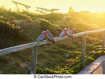 Colorful parrot Galah outdoors on the fence at dunes near...