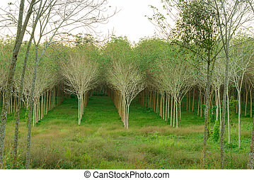 Rubber trees in garden - forest of rubber trees at Phuket,...