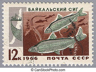 Baikal whitefish - USSR - CIRCA 1966: A stamp printed in...