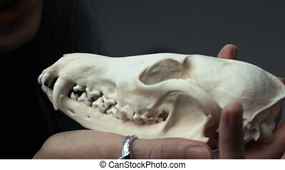 Female hands hold a fox skull, Close-up .